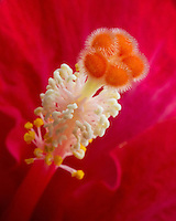 A closeup of the pistil of a red hibusus flower.