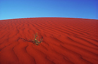 The Red Center - Central Australia red sand dune and flower appearing after a short rain. Northern Territory