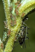 1A04-008a  Aphid - adult aphid with newly produced young, parthenogenesis, rose aphid - Microsiphum spp.