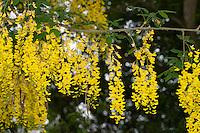 Gemeiner Goldregen, Bohnenbaum, Goldrausch, Gelbstrauch, Laburnum anagyroides, Syn. Cytisus laburnum, Common Laburnum, Golden Chain, Golden Rain