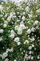 Rosa spinosissima 'Semiplena'