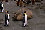 King penguins walk by a large Southern elephant seal on Gold Harbour, South Georgia Island.