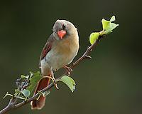 Female Cardinal posing for the camera.