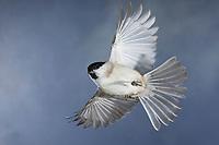 Sumpfmeise, im Flug, Flugbild, fliegend, Sumpf-Meise, Nonnenmeise, Meise, Meisen, Poecile palustris, Parus palustris, marsh tit, flight, flying, La mésange nonnette
