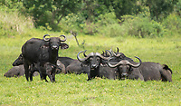 A herd of Cape Buffalo, Syncerus caffer caffer, in Arusha National Park, Tanzania