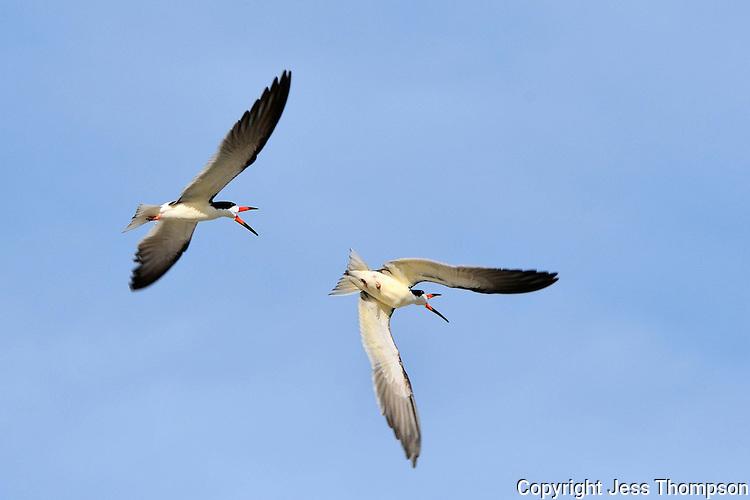 Black Skimmers, mating season, Rockport, Texas