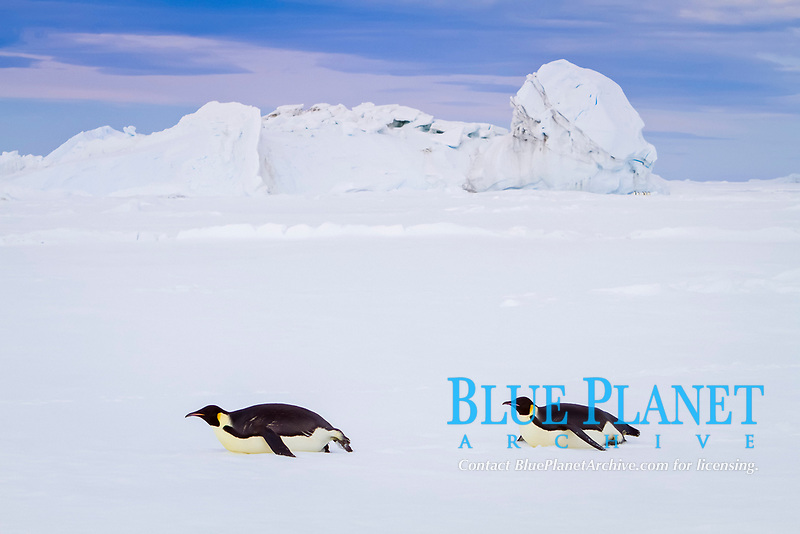emperor penguin, Aptenodytes forsteri, adult, on sea ice near Snow Hill Island in the Weddell Sea, Antarctica, Southern Ocean