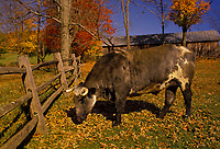Bull stands in fall paddock, Vermont USA