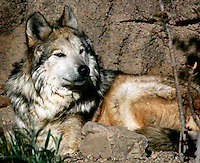 The Mexican Gray Wolf has been hunted, poached and poisoned to near extinction due to its affinity for attacking livestock and game. It remains the most endangered subspecies of gray wolf. This one at the Sonora Desert Museum in Arizona is one of the few hundred left in the world.