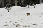 Wolf from the Druid pack stands in a clearing in Yellowstone National Park, Wyoming.