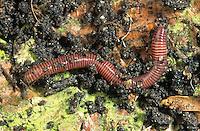 Kompostwurm, Kompost-Wurm, Mistwurm, Stinkwurm, Eisenia fetida, Eisenia foetida, redworm, brandling worm, panfish worm, trout worm, tiger worm, red wiggler worm, red californian earth worm, earthworm, Kompostierung