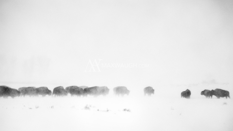 One of the most brutal storms I've experienced while shooting pelted this poor bison herd… and the few photographer dumb enough to be out in the elements.