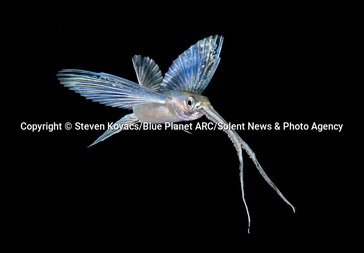 """Pictured:  An unidentified flyingfish.<br /> <br /> IS IT A BIRD? A PLANE? NO, IT'S DEEP SEA CREATURES - FLYING THROUGH THE SEA.  Unusual species from the darkest corners of the ocean look like they can fly as they glow in the dark.  These spectacular creatures - including squid, octopus and flying fish - light up the blackness of the sea around them off the coast of Palm Beach in Florida, USA.<br /> <br /> Photographer Steven Kovacs said: """"Blackwater photography is difficult and takes some getting used to. Basically we go out at night into deep water and jump in. We then drift along and see what shows up out of the darkness.   SEE OUR COPY FOR DETAILS.<br /> <br /> Please byline: Steven Kovacs/Blue Planet ARC/Solent News<br /> <br /> © Steven Kovacs/Blue Planet ARC/Solent News & Photo Agency<br /> UK +44 (0) 2380 458800"""
