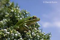 0605-0920  American Green Treefrog Climbing Tree at Outer Banks North Carolina, Hyla cinerea  © David Kuhn/Dwight Kuhn Photography