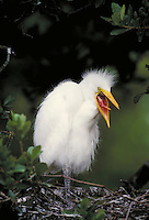 Cattle Egret, unfledged young. Life cycle of birds. Wading birds. Florida.
