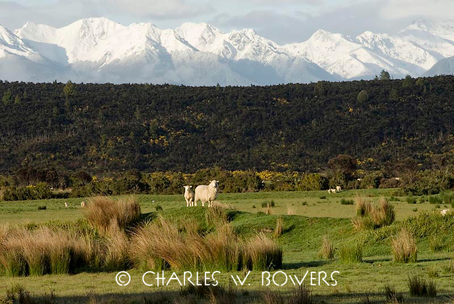 In the shadow of the Southern Alps the sheep find lush pastures to roam.<br /> <br /> -Limited Editon of 50 Prints.