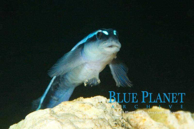 Neon Goby (Gobiosoma oceanops) (c)
