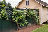 Vitis grape vine on fence next to chicken coop