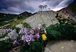 Blue columbine, Rocky Mountain National Park, Colorado