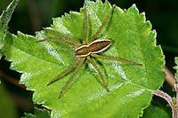 Gerandete Jagdspinne, Listspinne, Dolomedes fimbriatus, raft spider, raft-spider, la Dolomède des marais, Raubspinnen, Pisauridae