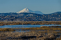 Mount Shasta with snow geese and other waterfowl during late winter/early spring migration.  Lower Klamath National Wildlife Refuge, California-Oregon border.  Early morning.