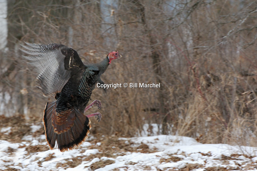 01225-087.09 Wild Turkey (DIGITAL) Eastern tom in flight is about to clear fence during winter.  Action, speed, beard, hunt, scout.  H3R1