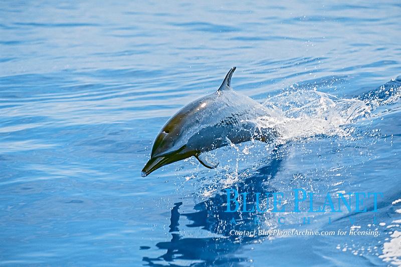 pantropical spotted dolphin, Stenella attenuata, wake-riding, Big Island, Hawaii, Pacific Ocean