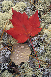 Red maple leaf on the forest floor, Maine, USA