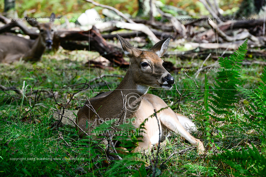 USA, Virginia, Shenandoah National Park, White-tailed deer, whitetail or Virginia deer (Odocoileus virginianus) in forest