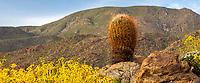 Ferocactus cylindraceus, barrel cactus on rocky outcrop with Encelia farinosa, Brittlebush in Sonoran Desert at Anza Borrego California State Park