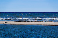 Congregation of seals sunbathing on a sand bar, Head of the Meadow Beach, Truro, Cape Cod, Massachusetts, USA