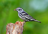 Adult male black-and-white warbler gathering nesting material