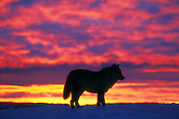 Arctic Wolf or Arctic Gray Wolf (Canis lupus) at sunset.