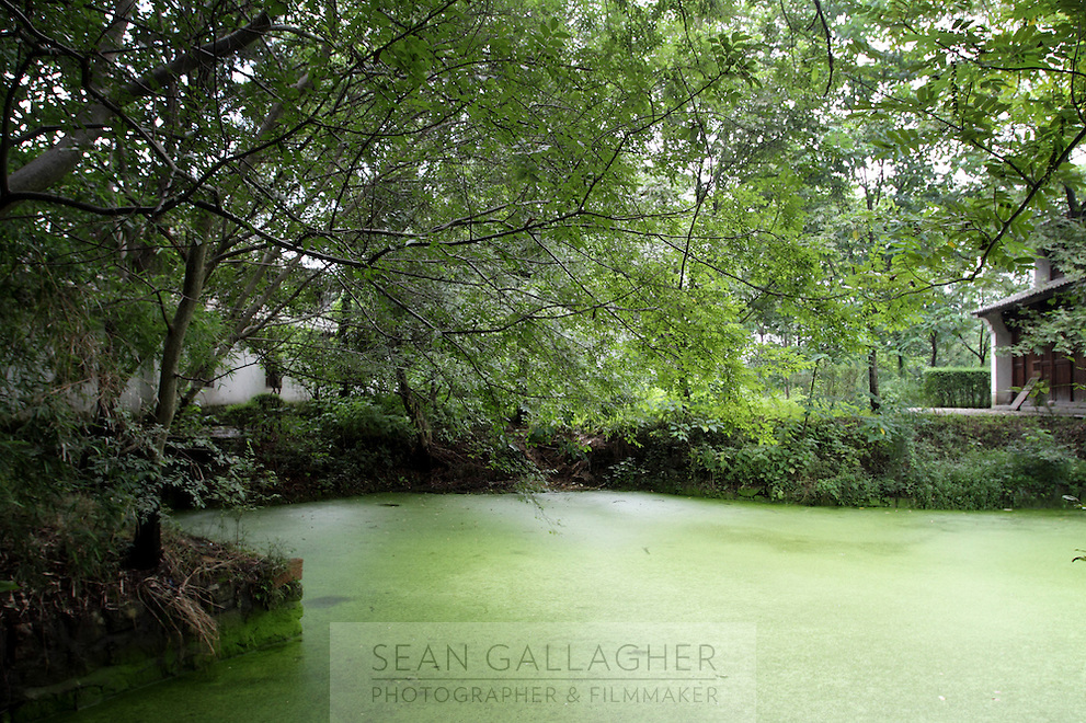 Eutrophication in one of the ponds at the Xixi wetlands which lie in the west of the city of Hangzhou. Eutrophication occurs when excess nitrates, normally from water pollution, enter the water causing the proliferation of algal blooms. Zhejiang Province. China. 2010