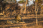 African Lion (Panthera leo) six year old male in miombo woodland, Kafue National Park, Zambia