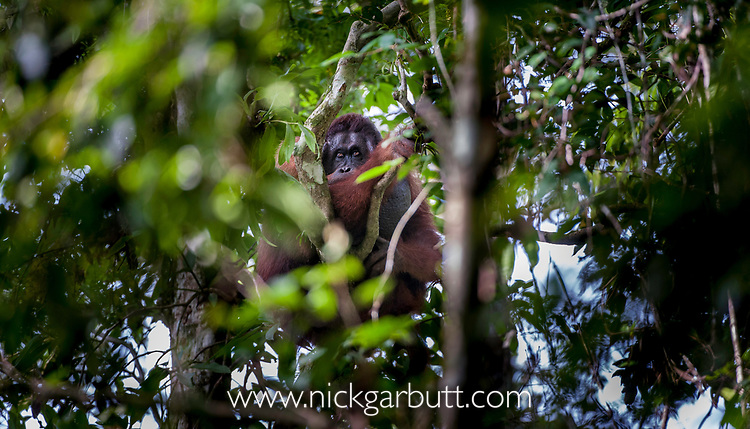 Dominant large 'flanged' male orang-utan (Pongo pygmaeus) resting in the rainforest canopy. Lowland Dipterocarp rainforest, Danum Valley, Sabah, Borneo.