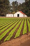 Gray barn and lettuce field rows, Salinas Valley, Calif.