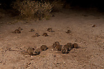Mice plague - the desert mice in Halligan Bay Lake Eyre. The Desert Mouse (Pseudomys desertor) is a species of rodent in the family Muridae. It is found only in Australia.