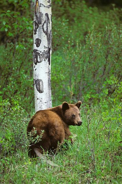 Black Bear (Ursus americanus)--cinnamon color phase.  Spring.  Northern Rockies.
