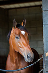 DEL RAY BEACH, FL - APRIL 15: 2017  Kentucky Derby contender Patch trained by Todd Pletcher looks out of his stall at Palm Beach Downs, Del Ray Beach, FL. (Photo by Arron Haggart/Eclipse Sportswire/Getty Images)