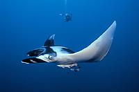giant oceanic manta ray and scuba diver, Mobula birostris, formerly Manta birostris, Egypt, Red Sea, Brother Islands, Northern Africa