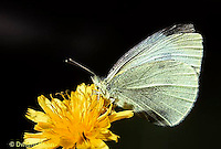 BW01-009z  Butterfly - Cabbage White Butterfly adult - Pieris rapae