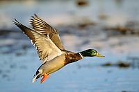 Mallard Duck drake (Anas platyrhynchos)
