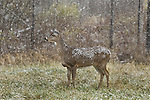 White-tailed doe standing in a Wisconsin field during a November snowstorm.