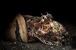 Lembeh Strait, Indonesia; a coconut octopus emerging from a pair of clam shells, which it was using as a temporary home and hiding place, on the sandy bottom during a night dive