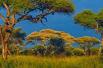 Umbrella Thorn, Tarangire National Park, Tanzania