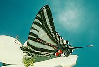 Skipper butterfly on dogwood flower