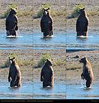 Alaskan Coastal Brown Bear Standing, Searching for Salmon, Silver Salmon Creek, Lake Clark National Park, Alaska