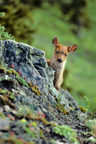 Very young Black-tailed deer fawn (Odocoileus hemionus) on subalpine hillside, Pacific Northwest, summer.