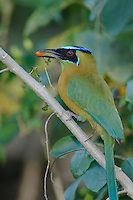 Blue-crowned Motmot, Momotus momota, adult eating berry, Central Valley, Costa Rica, Central America